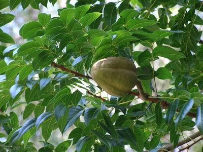 桃花心木---原产於中南美洲,西印度群岛等地.