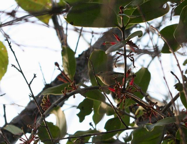 小鸟快速的在枝枒间啄食桑寄生的果实