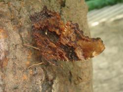 吸食樹液的琉璃蛺蝶