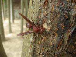 吸食樹液的棕長腳蜂