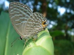 白波紋小灰蝶弓起腹部產卵