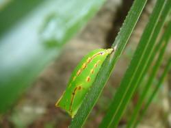 紫蛇目蝶蛹