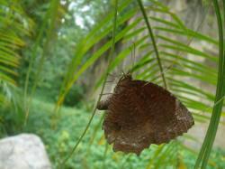 正在產卵的紫蛇目蝶