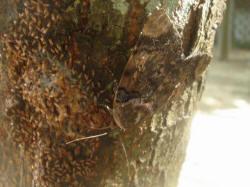 隱身於樹皮的蛾