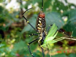 人面蜘蛛將獵物注入毒液
