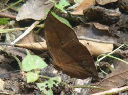 擬態成枯葉的枯葉蝶