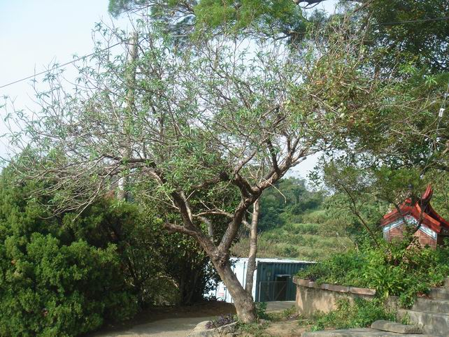 柿子树寄生茶功效与作用图片_