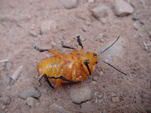 节肢动物 昆虫 金花虫 大黄金花虫_节肢动物 昆虫 金花虫 大黄金花虫