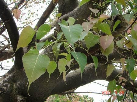 将菩提树叶子放入稀释过的氢氧化纳溶液中