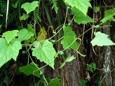 透明背景藤本植物高清图素材
