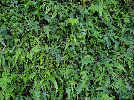 小叶类分5种:松叶蕨,木贼