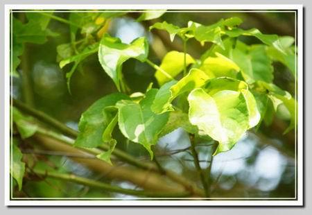 朴树叶子图片欣赏
