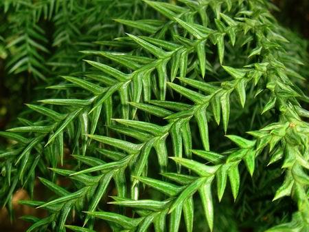 榉木树叶子图片