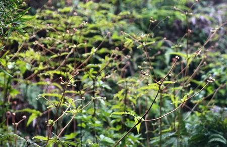 线瓣蝇子草,酱瓣草,草苫子线厂家