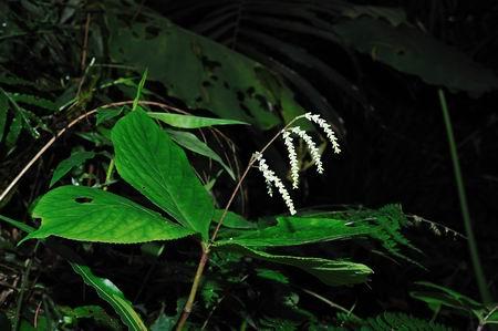 在古道上与柏油路边很容易发现~~ 四片叶子两对对生於茎顶,  仿佛有