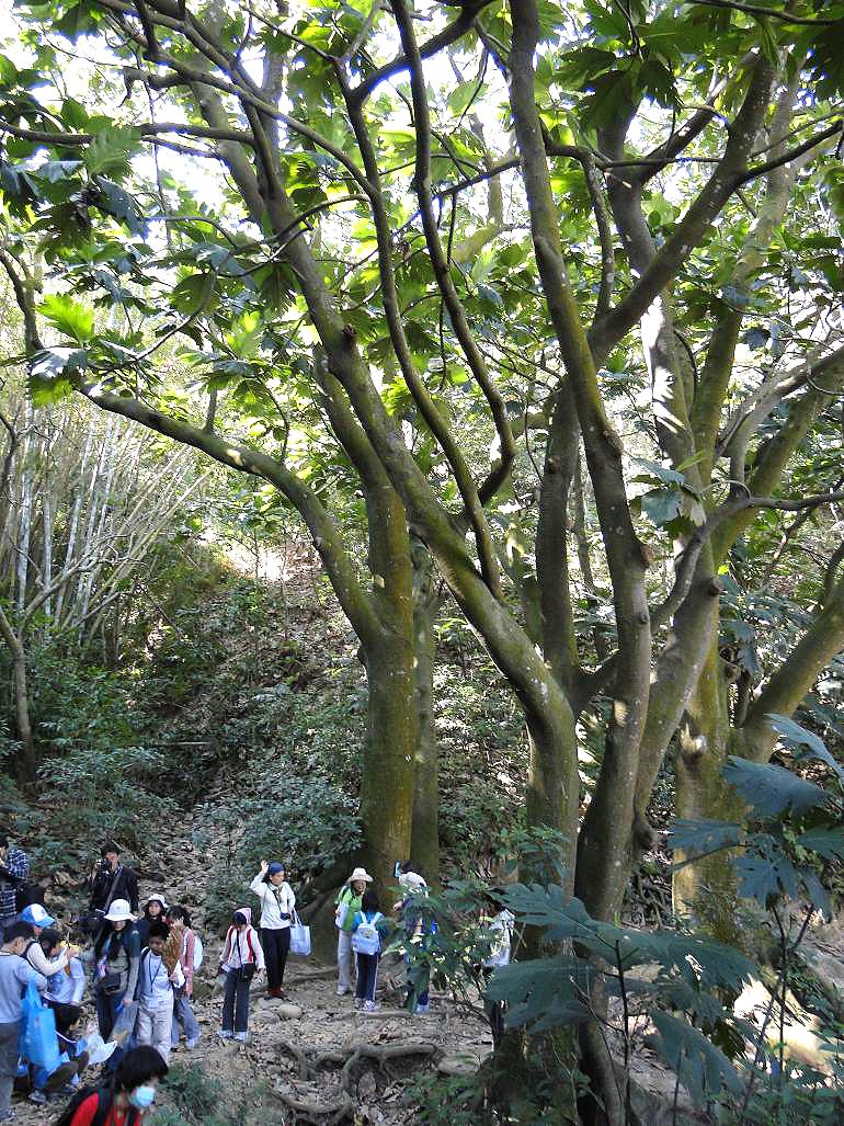 出 发 我们一起走进树林,去拜访树朋友的家    首先,来到了   构树